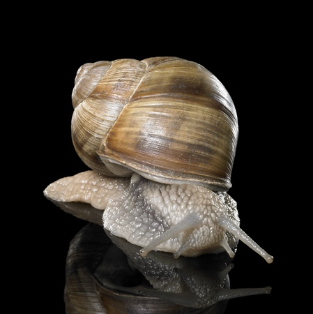 scourge: studio photography of a Grapevine snail creeping in black reflective back