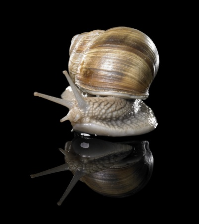 allegory painting: studio photography of a Grapevine snail creeping in black reflective back