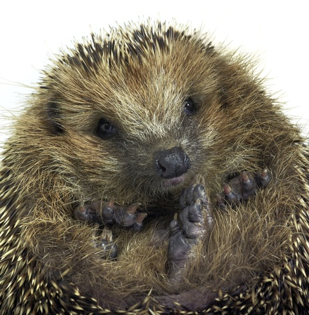 portrait of a rolled-up young hedgehog. Studio photography in white back Stock Photo - 10988176