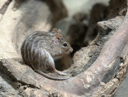 striped grass mouse in a knothole