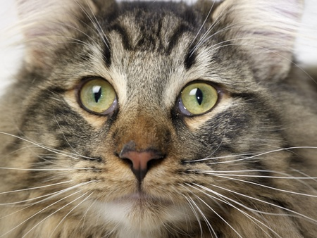 portrait of a Norwegian Forest Cat Stock Photo - 11684956