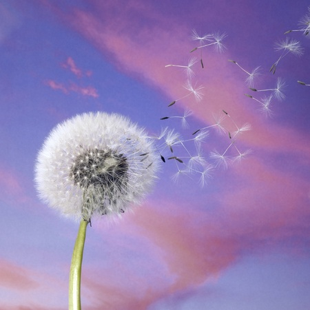 dandelion wind: blowball and flying seeds in colorful back