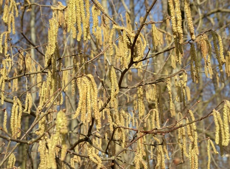 hazel: Hazel catkins at a sunny day in early spring time