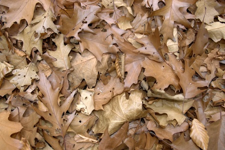 momentariness: natural background with brown sere autumn leaves