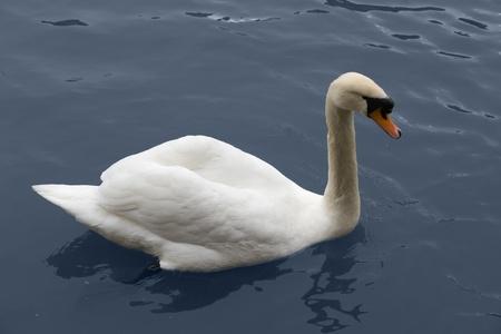 white swimming swan on dark blue water surface photo