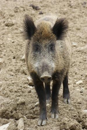 frontal portrait of a wild boar in earthy ambiance photo