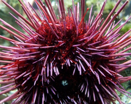 keen: detail of a red sea urchin