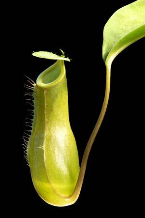 pitcher of a pitcher plant in black back photo