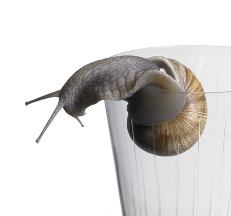 allegory painting: studio photography of a grapevine snail while creeping over the edge of a drinking glass in white back