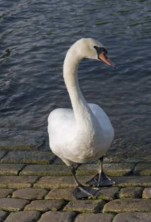 frontal shot of a swan neat the river shore photo