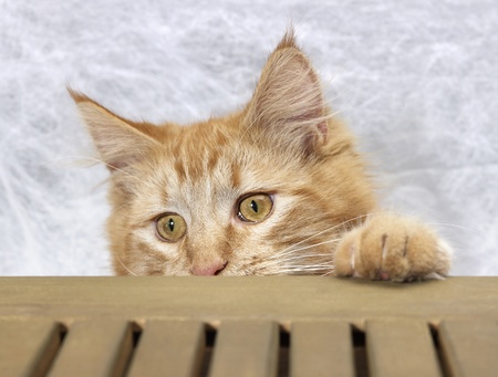 red Maine Coon kitten spying over a wooden bench photo