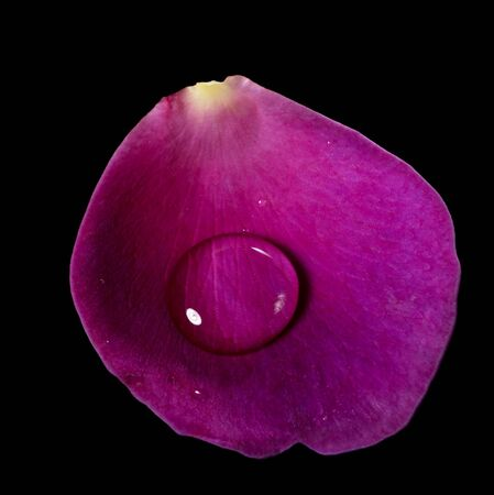 studio photography of a violet rose petal and water drop upon in black back Stock Photo - 11683389