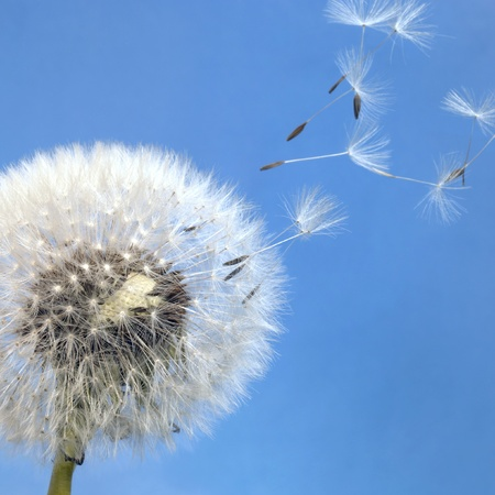 dandelion wind: dandelion seeds in blue back Stock Photo