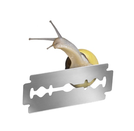 razor blade: studio photography of a reaching out Grove snail on a razor blade in white back
