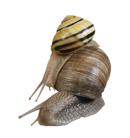 scourge: studio photography of a grove snail riding on a grapevine snail  in white back Stock Photo