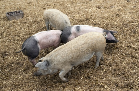 high angle shot: high angle shot showing some domestic pigs in rural straw ambiance