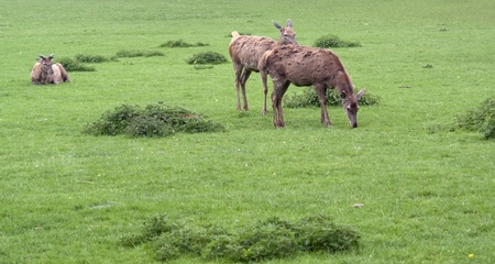 some Red Deers in green grassy ambiance photo