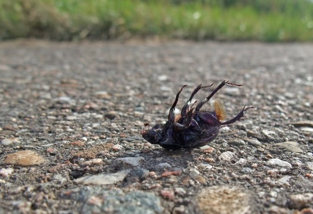 chatoyant: closeup showing a dead bug named Cysolina sturmi supine on pavement in sunny ambiance Stock Photo