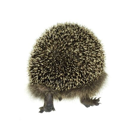 allegory painting: backside of a hedgehog while walking away. Studio shot in white back