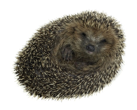 a young rolled-up hedgehog. Studio photography in white back Stock Photo - 11014555