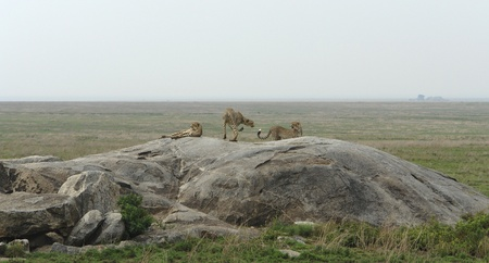 some Cheetahs resting on a rock formation in Tanzania (Africa) Stock Photo - 11014584