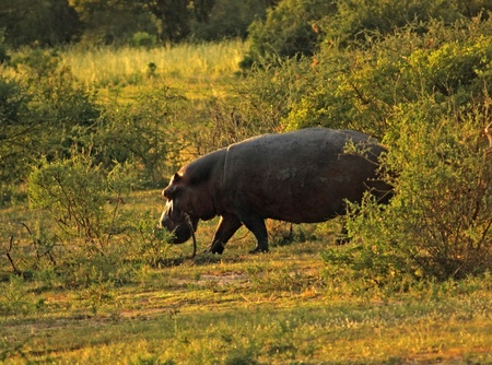 a Hippo walking through shrubby vegetation in Uganda (Africa) at evening time Stock Photo - 11014612