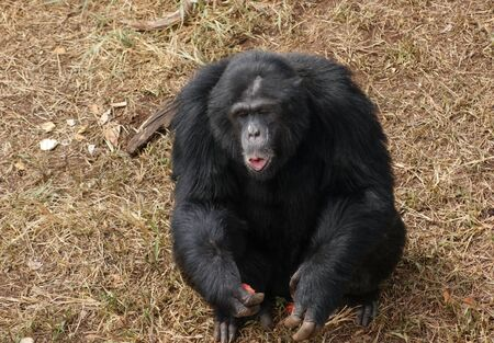 Outdoor shot in Uganda (Africa) showing a chimpanzee sitting on brown grassy ground while eating some fruits photo