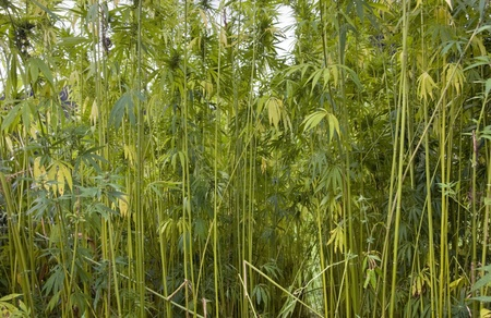 detail of a high grown hemp field
