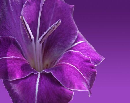 violet gladiolus flower in violet back photo