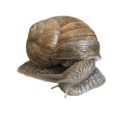 studio photography of a grapevine snail seen from behind in white back photo