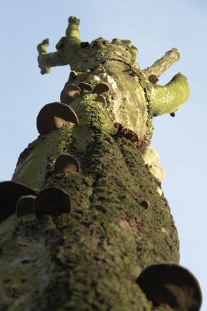 sponger: wormu00b4s eye outdoor shot with mushrooms on the trunk of a dead tree