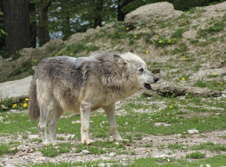 gray wolf: Gray Wolf in natural ambiance