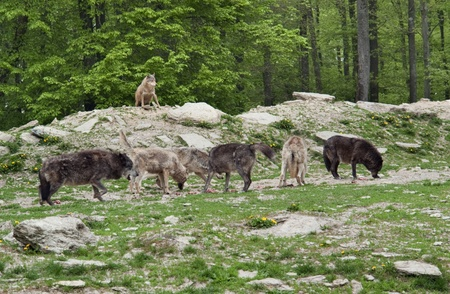some Gray Wolves in natural forest back Stock Photo - 11013857