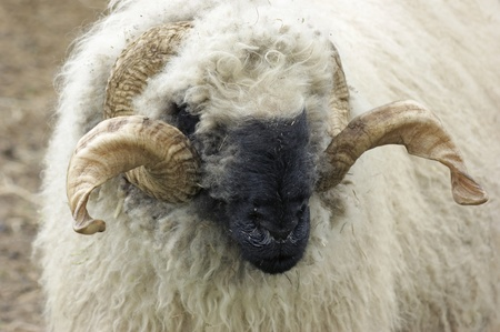 portrait of a domestic sheep breed named