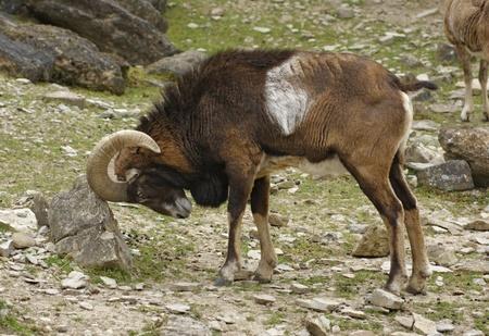 mouflon: lado tiro mostrando un mufl�n macho, mientras que roce Foto de archivo