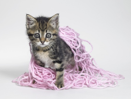 entanglement: Studio photography of a kitten playing and coated with pink wool