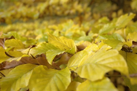 momentariness: detail of yellow and brown autumn leaves in blurry back