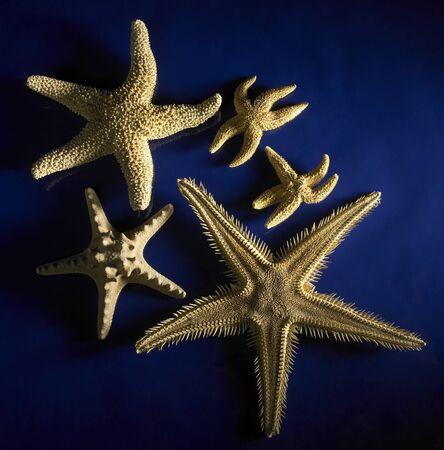 bristle: studio photography of starfishes in dark blue back