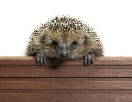 allegory painting: frontal portrait of a hedgehog while climbing over a wooden panel. Studio photography in white back
