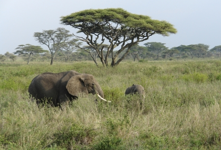 two african Elephants walking in high grass