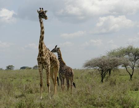 savannah with two Giraffes in Tanzania (Africa) photo