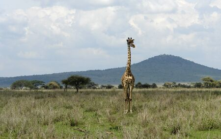 Giraffe in Tanzania (Africa) photo