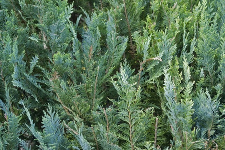 thuja: abstract background with thuja leaves