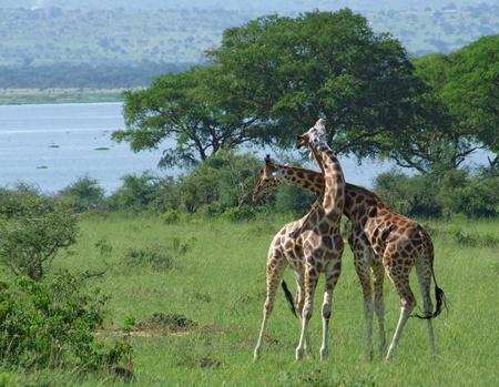 sunny scenery of two male  Rothschild Giraffes while fighting in Uganda (Africa) photo