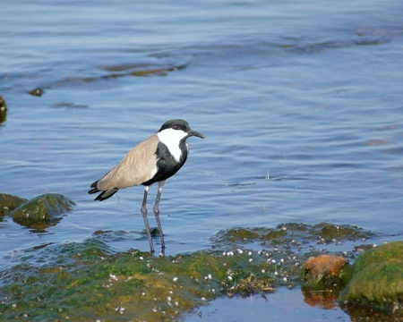 vanellus spinosus: waterside scenery including a bird named Spur-winged Lapwing in Uganda (Africa)