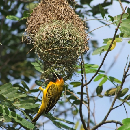 a bird named Weaver Bird building on its nest in Uganda (Africa) Stock Photo
