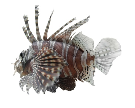 pterois: sideways shot of a single lionfish in white background