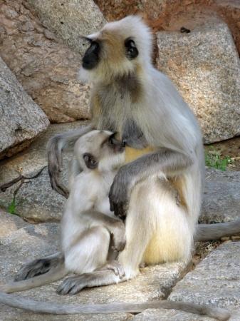 hanuman langur: mother and child of Gay Langur monkeys in India Stock Photo