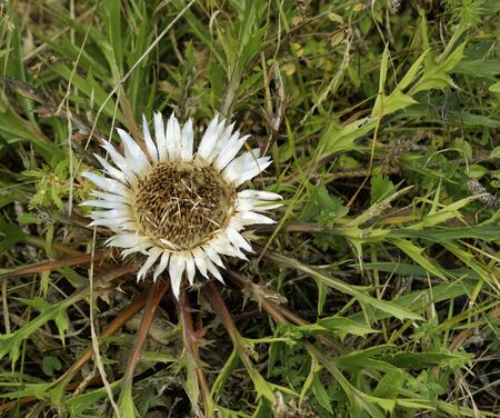 silver Thistle seen from above Stock Photo - 14743616