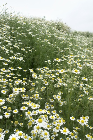 natural field with lots of blooming Camomile plants photo
